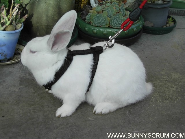 RABBITS AND HARNESSES | Bunnyscrum.com