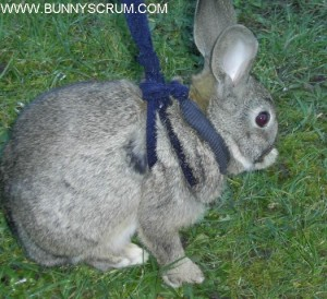 SA400449_Juvenile Grey Rabbit on Grass in Sock Harness