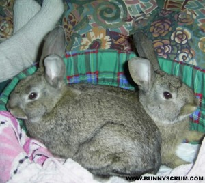 SA400456_2xBaby Grey Bunnies in catbed~1