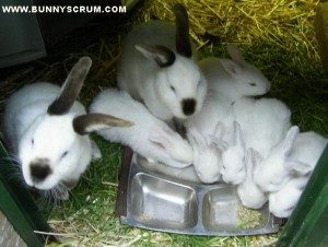 SA401516_Commando bunnies eating Peckish pellets~1