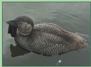 musk duck lake wendouree underbill wattle